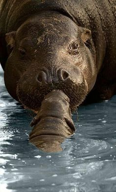 ♔ Hippo Kisses