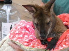 Unfortunately, the pouches need to be changed multiple times during the day, which has lead to the call for volunteers to help with supplying them. | Australia Needs Joey Pouches, Not Koala Mittens, For Its Injured Wildlife