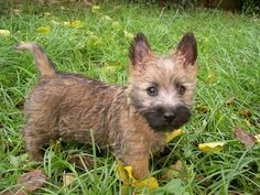 We had two Cairns when I was growing up. Duffy was dark gray and a true, ornery terrier.