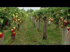 Como Cultivar Fresa con Agricultura Tubular- TvAgro por Juan Gonzalo Angel