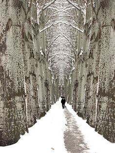 birch alley in winter--Birch Legs for Robbers and Enchanted Trees?