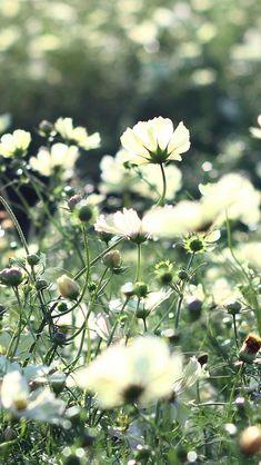 Cosmos Flowers Field Grass  #iPhone #5s #Wallpaper