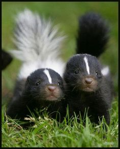 Skunks are crepuscular and are solitary animals when not breeding, though in the colder parts of their range they may gather in communal dens for warmth. During the day, they shelter in burrows that they dig with their powerful front claws, or in other man-made or natural hollows as the opportunity arises. Skunks are not true hibernators in the winter, but do den up for extended periods of time.