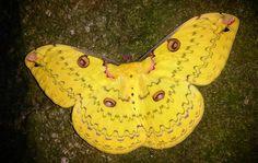 Female Golden Emperor Moth (Loepa katinka)  9 cm  Asia