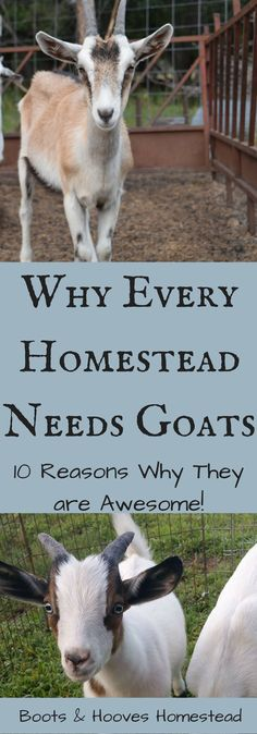 Why Every Homestead Needs Goats (10 reasons why goats are awesome) - Boots & Hooves Homestead