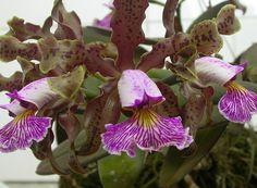 Cattleya schilleriana Esta também é uma espécie brasileira, que atualmente…