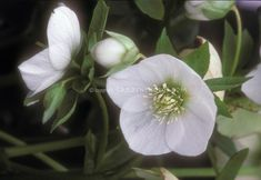 Hellebore Stock Photos Helleborus - Images | Plant & Flower Stock ...