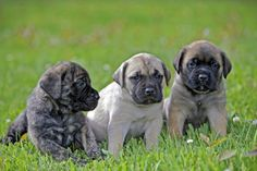 Many Molossers, including Mastiffs, have difficulty maintaining pregnancy. Low progesterone may be the culprit. Modern Molosser  |  www.modernmolosser.com