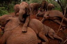 """Even orphaned babies out for their morning walk from the nursery seem to understand the complex structure of elephant society. Here the oldest orphans lie down to invite the younger ones to play on top of them."""