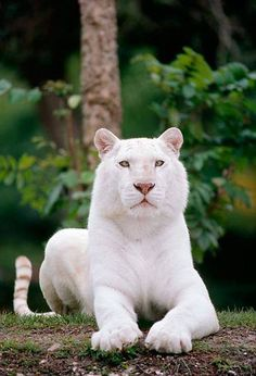 This is Thorn and she may look like a large Albino lion but she is actually a fully white coated tiger. She looks very peaceful at first but can get very hostile and hates flirting and any kind of love even though she is very beautiful. But she can be tricked into loving someone with force... She lives in the damp mountains in the caves and Huntress lives around in the mountains also..