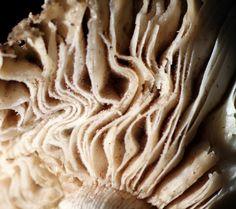 mushroom. kinda looks like folded calico