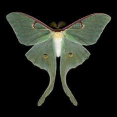 Luna Moth - Actias luna (male). Photo Jim de Riviera