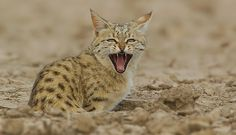 20 Wild Cats Of India Ideas Wild Cats Cats Big Cats