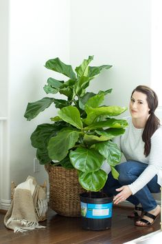 how to keep your fiddle leaf fig tree alive, how to care for a fiddle Indoor Plants Clean Air, Indoor Plants Low Light, Container Plants, Container Gardening, Urban Garden Design, Fiddle Leaf Fig Tree, Growing Greens, Inside Plants, Interior Garden