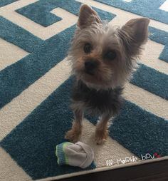 They're a huge problem, because they steal everything: your socks, your whole heart, etc.   21 Reasons Why You Should Never Own A Yorkshire Terrier