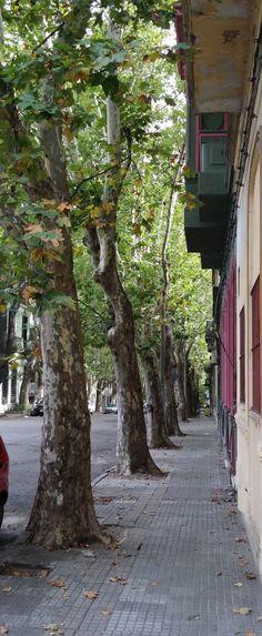 Fila de árboles esperando su turno en calle cualquiera de Montevideo