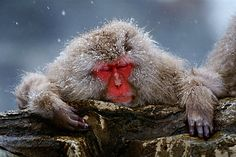 "To see the Japanese macaques or ""snow monkeys"" at Jigokudani Yaen-koen where they come down to enjoy the hot springs!"