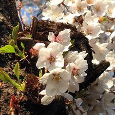 "@Graham Budd's photo: ""Close up of the #cherryblossom in Seoraksan National Park. #spring #korea #epikphotocontest #epik #nofilter #한국 #속조 #asia #nature #trees"""