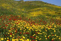 Wild Flowers- Spring in Israel
