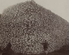 Bison skulls picked up from the Kansas prairie, waiting to be ground up for fertilizer, circa 1870.