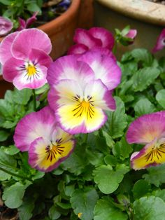 An angel in the garden: such a pretty pansy