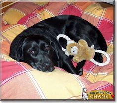 Read Chanel's story the Black Labrador Retriever from Montreal, Canada and see her photos at Dog of the Day http://DogoftheDay.com/archive/2010/January/16.html .