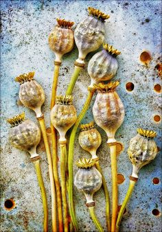 Poppy seed heads by Tony Cook