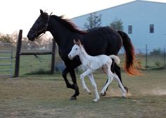 tennesee walker horse foal photo | these are naturally gaited tennessee walking horses i bred the foal on ...