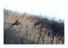 Photo animalière becasse en vol photos d'oiseaux en vol par Patrick Bouchez photographe animalier Photo Animaliere, Bird, Photos, Animals, Bird Flying, Photography, Pictures, Animales, Animaux