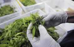 Top 11 Scientifically Proven Uses for Pot