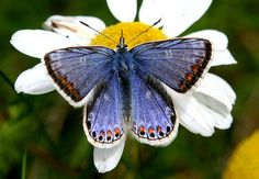 The Female Common Blue Butterfly