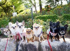 まるちゃんもちゃちゃももち すー小夜ちん めいちゃんりーたん ももちお誕生日おめでとう #chihuahua #靭公園#ピクニック#マッタリ #幸せタイム…