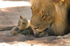 This lion became a gentle giant when a butterfly landed on his paw.