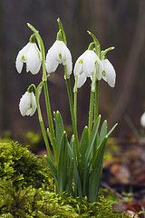 snowdrops, snow whites fave flower