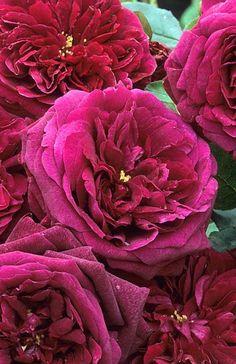 Rosa 'The Prince' Fotografia de John Glover, uno de los primeros y de los mas importantes fotografos de jardin del Reino Unido