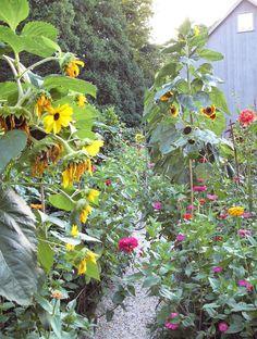 garden sunflower path