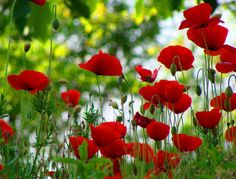 red, red poppies