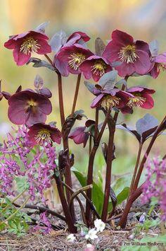 Photo of Hellebore (Helleborus x hybridus Frostkiss™ Anna's Red) uploaded by William Shade Garden, Garden Plants, Red Flowers, Beautiful Flowers, Lenten Rose, Greenhouse Gardening, Vegetable Gardening, Organic Gardening, Gardening Tips