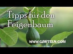 Feigenbaum schneiden und pflegen - YouTube