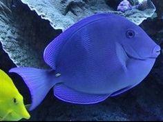 Blue Caribbean Tang