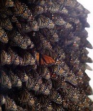 Monarch migration in Mexico, have to see this one of these years, 300 million butterflies migrating!