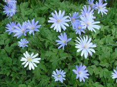 Anemone blanda blue.jpg