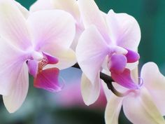 Moth-Orchid: Phalaenopsis - Flickr - Photo Sharing!