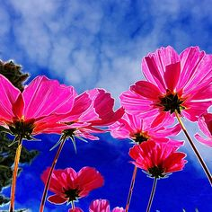 T-Shirts, women's apparel, mugs, travel mugs, home decor and prints! Pretty Pink Cosmos for You