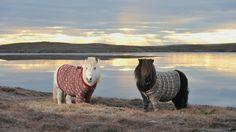 Visit Scotland: Shetland Ponies in Cardigan Sweaters
