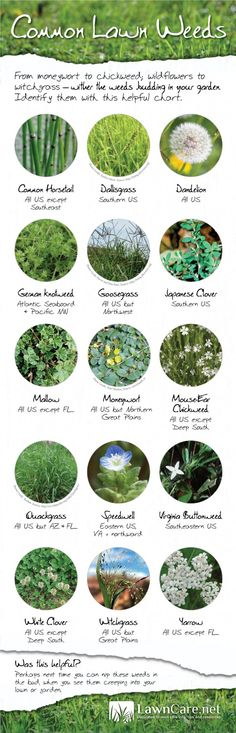 Common Lawn Weeds Infographic