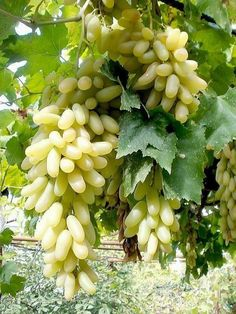 My favorite fruit grapes 🍇🍇🍇🍇 Types Of Fruit, Fruit And Veg, Fruits And Veggies, Fresh Fruit, Vegetables, Fruit Plants, Fruit Garden, Fruit Trees, All Fruits