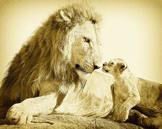 Blank Greeting Card, BABY LION and DAD Card - Blank, Baby Animal Photograph, Wildlife Photography, Note Card, Vintage Sepia, Fathers Day. $2.99, via Etsy.