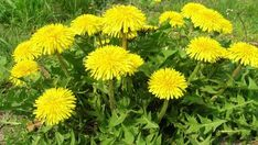 Pampeliškové listy a květy je třeba použít co nejrychleji - Vitalia.cz Korn, Detox, Herbs, Plants, Herb, Planters, Plant, Spice, Planting