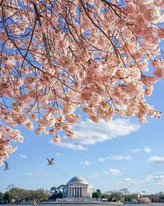 National Cherry Blossom Festival, United States #Washington Tidal Basin  #Trip #Travel #Sightseeing Spots, Superb Views #SuperbView #Destination #Spring #Flower #CherryBlossom Destinations, Stunning View, Amazing Places, Basin, Cherry Blossom, The Good Place, Attraction, Beautiful Flowers, Places To Go